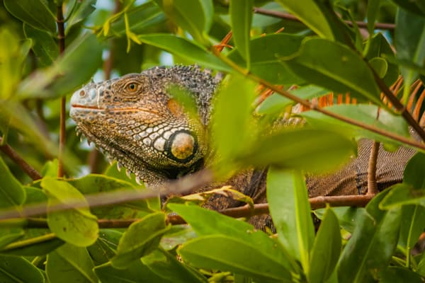 Iguana Photography Art | Monteux Gallery
