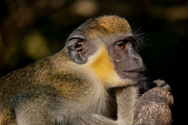 Vervet Monkey Photography Art | Monteux Gallery