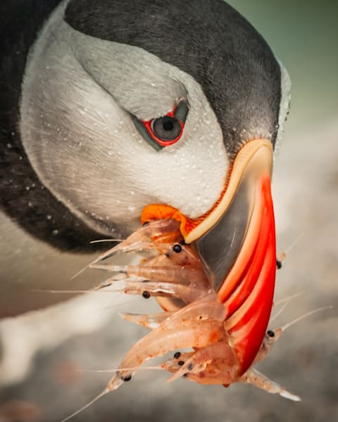 Hungry Puffin Photography Art | Monteux Gallery