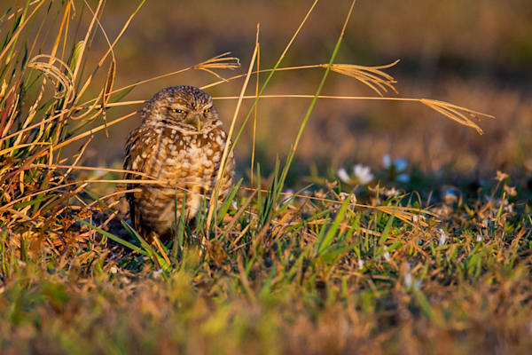 Burrowing Owl Photography Art | Monteux Gallery