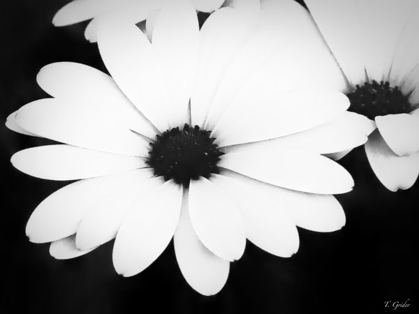 LARGE BLACK AND WHITE DAISY PETALS FLORAL PRINT