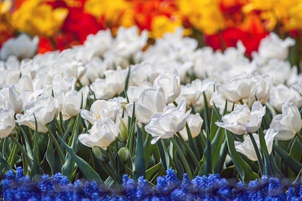 Beautiful ivory flora dale tulips courtesy of the Albany Tulip Festival