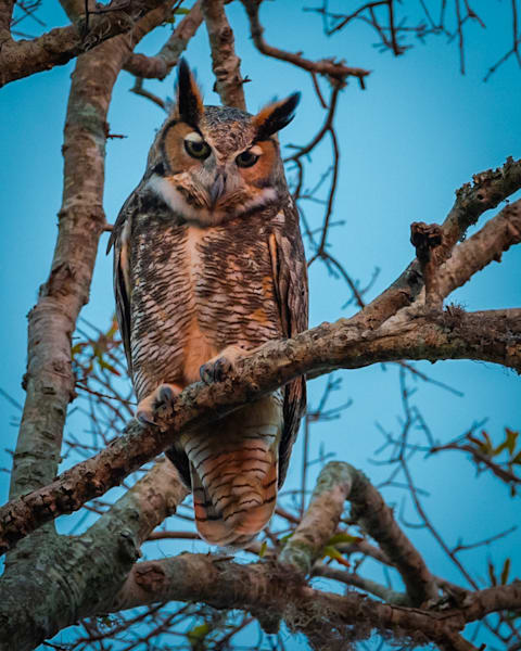 Great Horned Owl Photography Art | Monteux Gallery