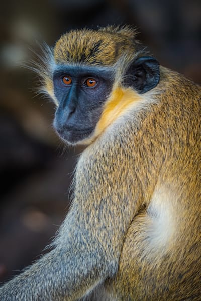Vervet Monkey Portrait Photography Art | Monteux Gallery