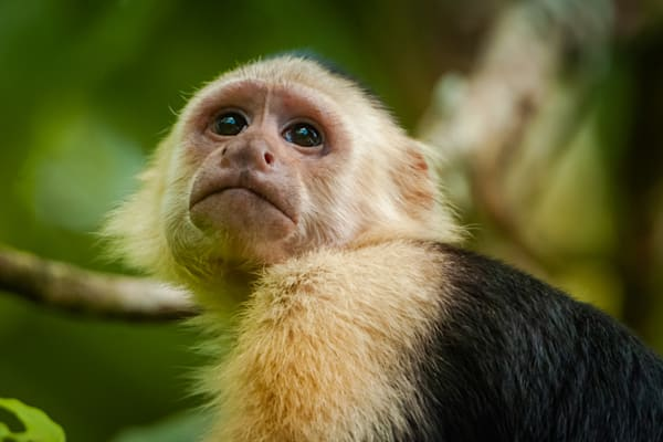 White Faced Capuchin Monkey Photography Art | Monteux Gallery