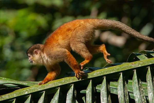 Squirrel Monkey Photography Art | Monteux Gallery