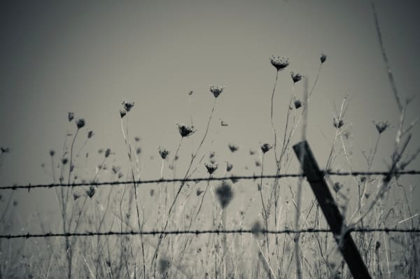 Queen Ann's Lace and Barbed Wire Fences Remind us of Quiet Places