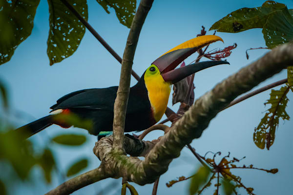 Chestnut Mandibled Toucan Photography Art | Monteux Gallery