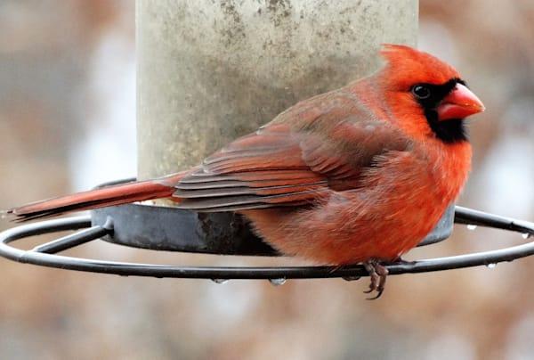 JRosenburg-Cardinal-Male-Snack