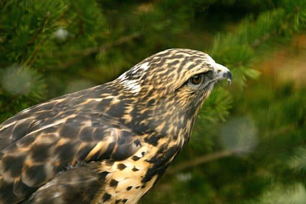 Hawk Art | DocSaundersPhotography
