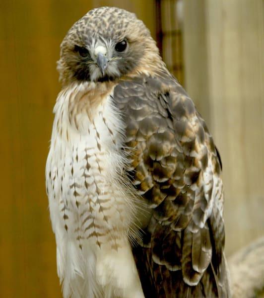 Hawk 2 Art | DocSaundersPhotography