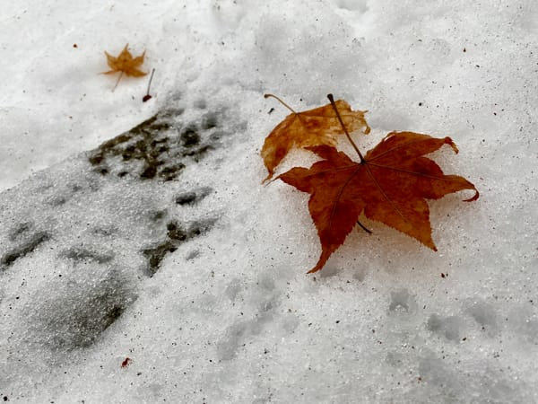 Red Leaf In Snow Art | DocSaundersPhotography
