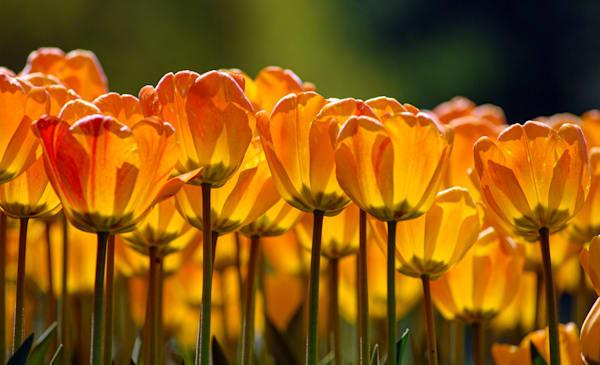 Beauty of Apeldoorn, orange and red tulips
