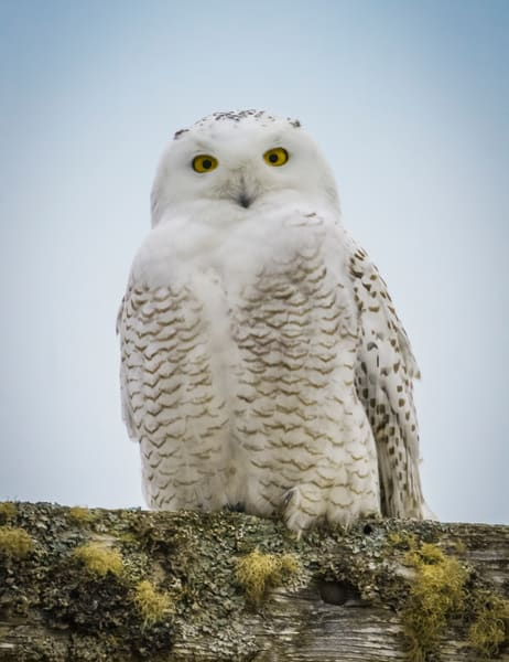 Snowy Owl Photography Art | Monteux Gallery