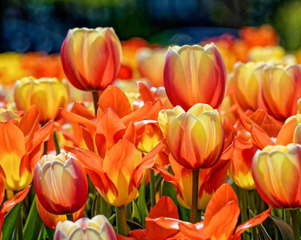 Apeldoorn Holland multicolored tulip