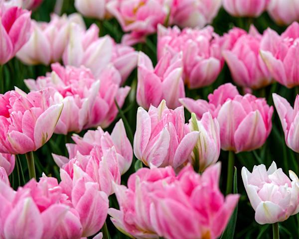 Pretty in Pink, double late tulip, Albany Tulip Festival