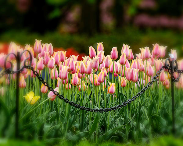 Pink Margarita red and yellow tulips