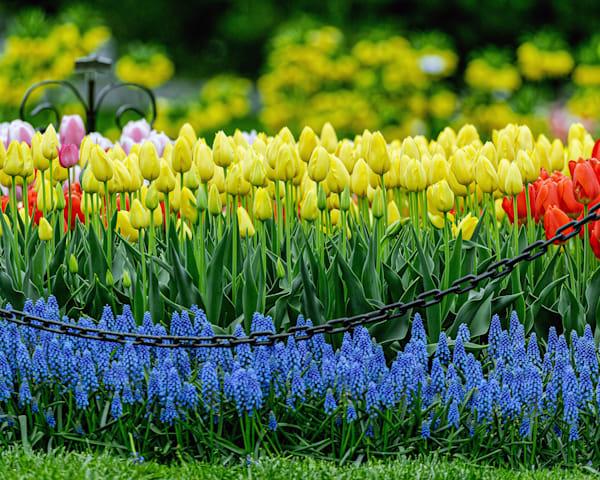 Yokohama yellow tulip bed Albany Tulip Festival