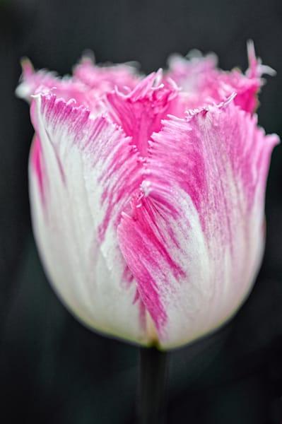 Tulipa, Foxtrot, Double, Early,