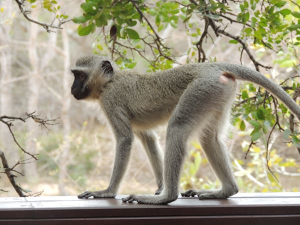 Vervet Monkey  Art | DocSaundersPhotography