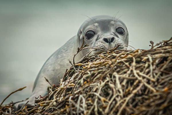 Seal Pup Photography Art | Monteux Gallery