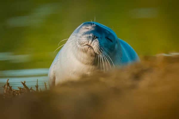 Sleepy Seal Photography Art | Monteux Gallery