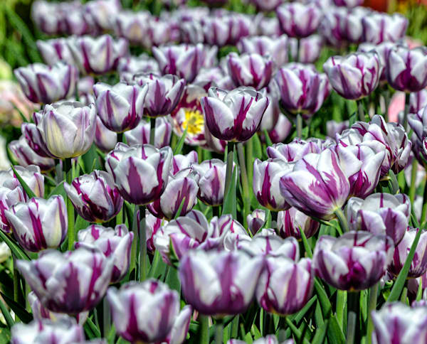 Beautiful bed of flaming flag tulips white with purple stripes