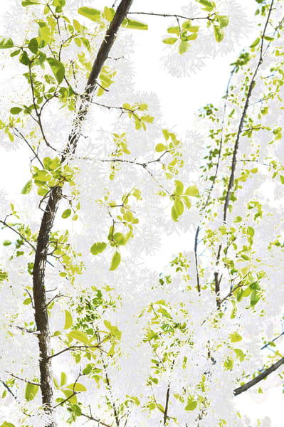 Oroville  Tree Photography Art | David Louis Klein