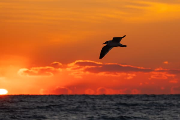 Seagull in the Sunrise - shop fine art prints | Closer Views