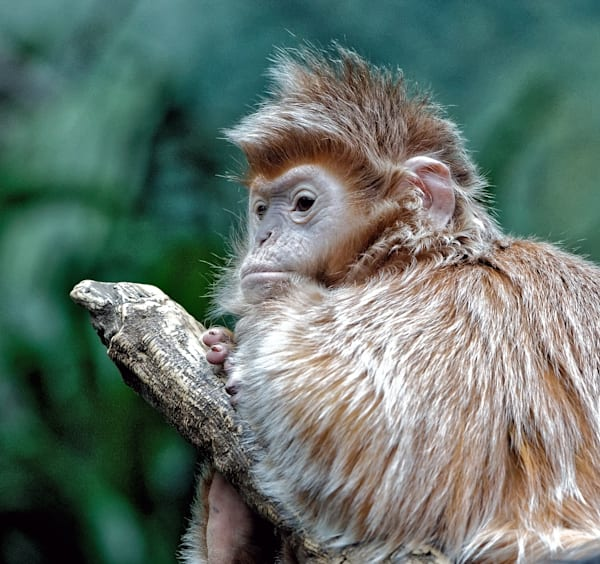 Photography By Festine Langur monkey
