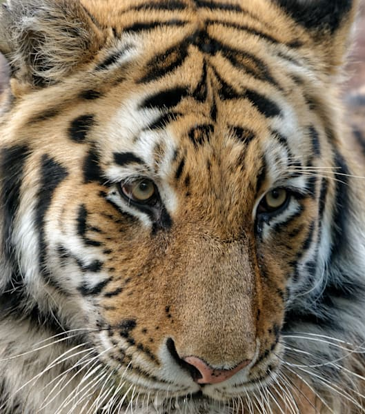 Photography By Festine Bengal Tiger Face Stripes