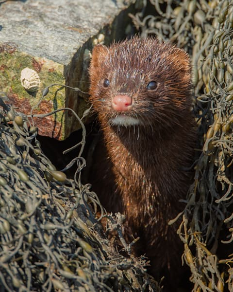 American Mink Photography Art | Monteux Gallery