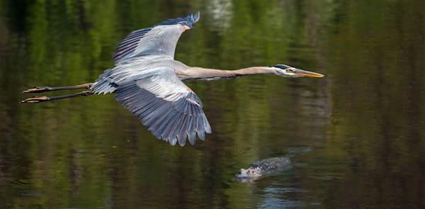Heron over alligator
