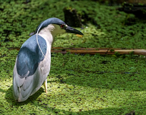 Photography By Festine Black crowned night heron