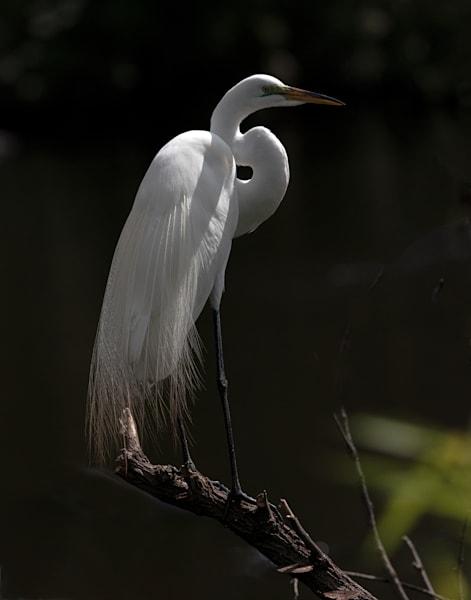 Egret shadows Venice Rookery