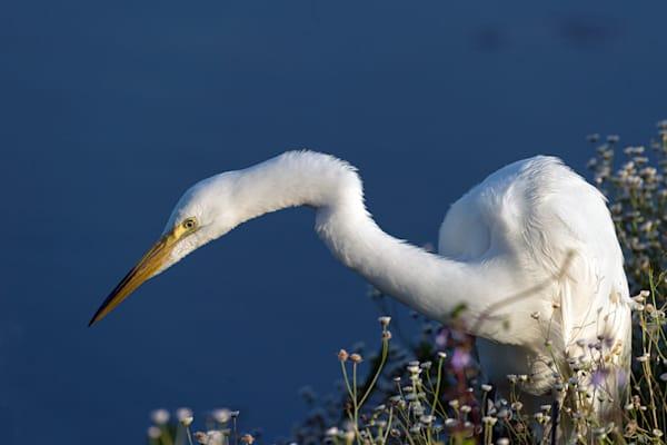 Photography By Festine Great Egret stalking prey