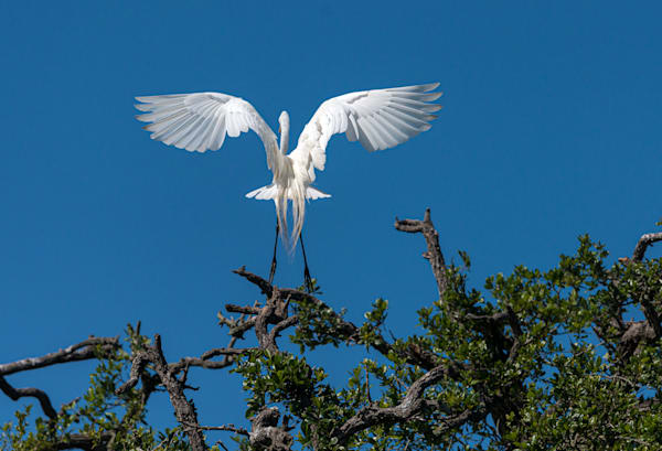 Photography By Festine angel egret