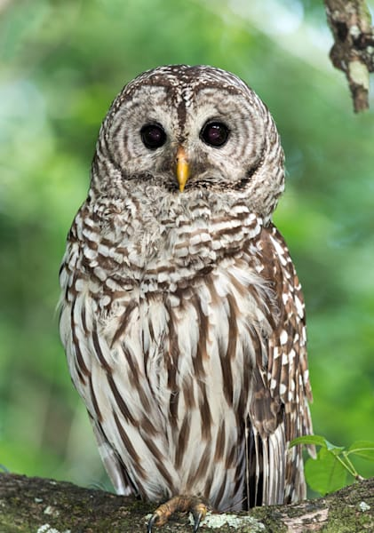 Photography By Festine Barred owl