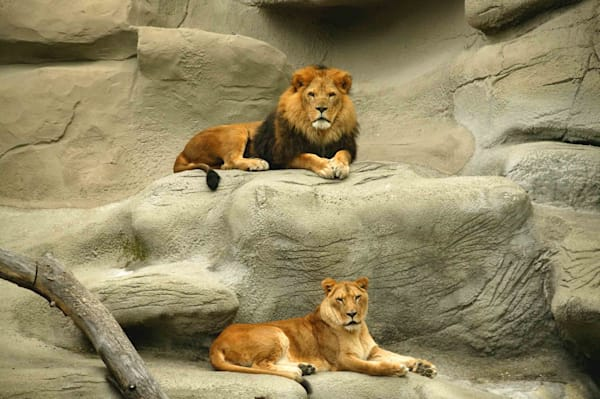Lion And Lioness Art   DocSaundersPhotography