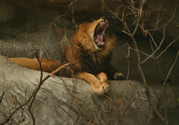 Lion Yawn Art | DocSaundersPhotography