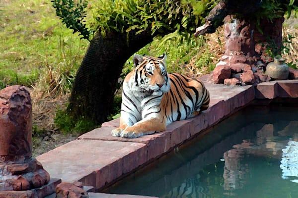 Tiger Bath  Art   DocSaundersPhotography