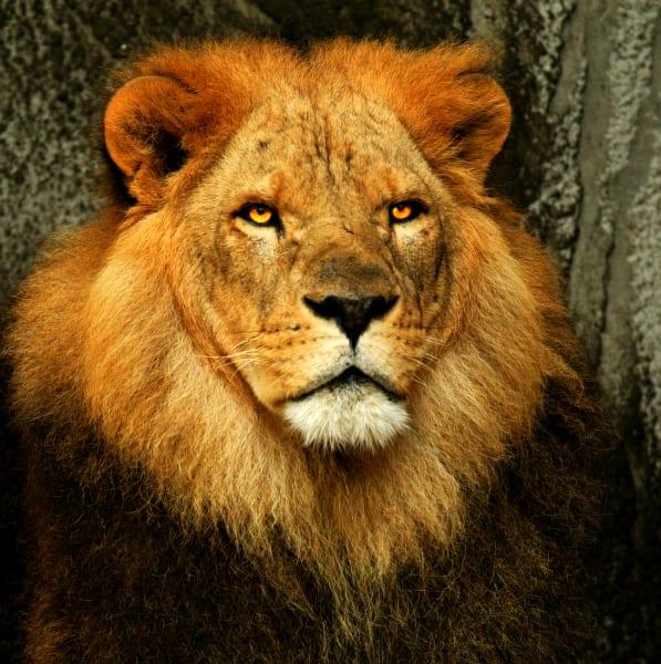 Lion King Art | DocSaundersPhotography