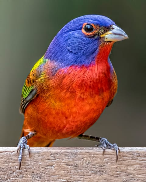 Perfect Portrait of a Painted Bunting