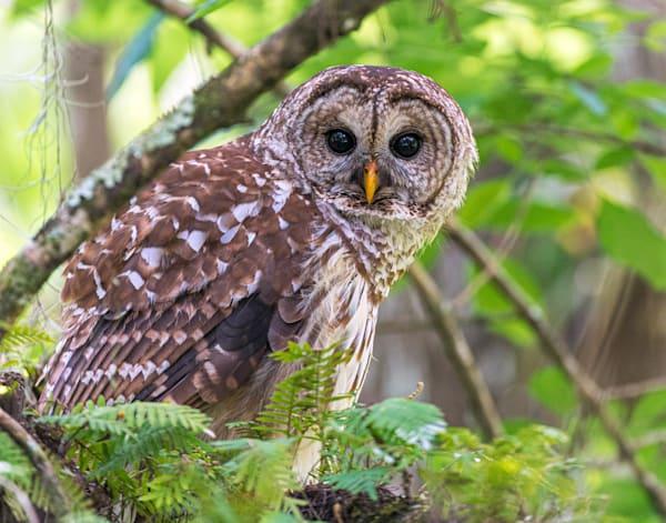 Barred owl corkscrew