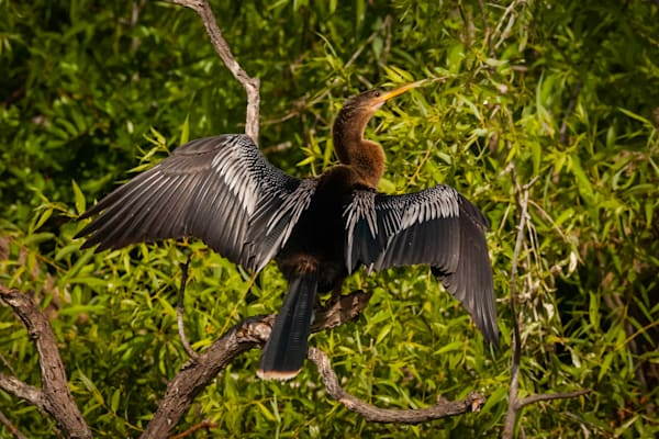 Anhinga Photography Art | Monteux Gallery