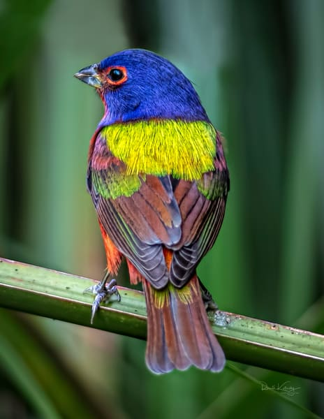 Perfect Portrait of a Painted Bunting 2