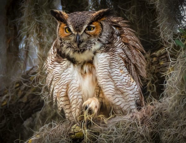 The Great Horned Owl Prepares for the Night
