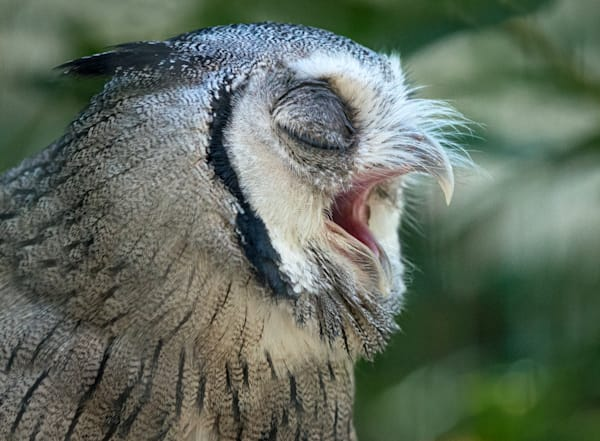 Photography By Festine Northern White Faced Owl