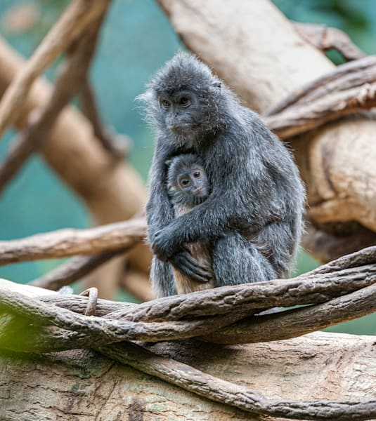 Photography By Festine Mother and Child Langurs