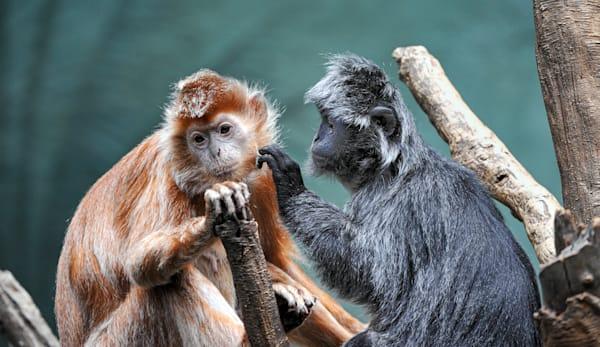 Photography By Festine pair of langur monkeys